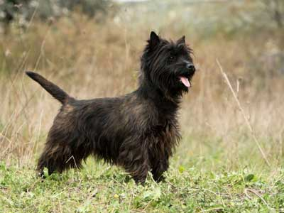 20151126-cairn-terrier-400