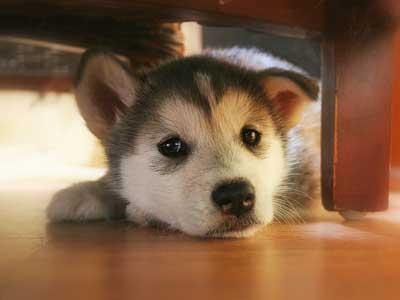 マラミュート子犬