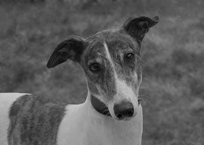 greyhound-1-400