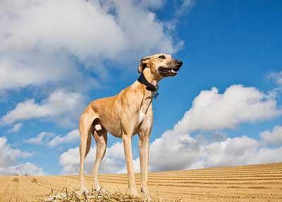 greyhound-3-400
